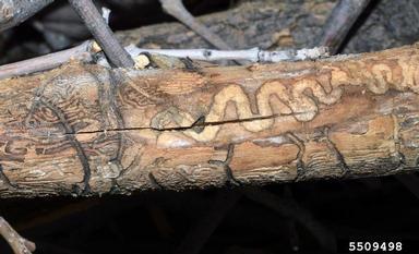 Emerald Ash Borer Tunnels under Ash tree bark
