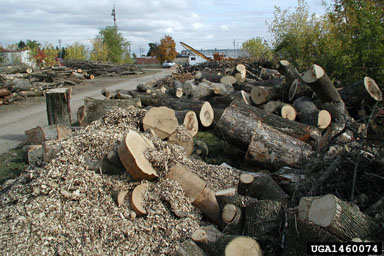 Ash Trees destroyed by Emerald Ash Borer